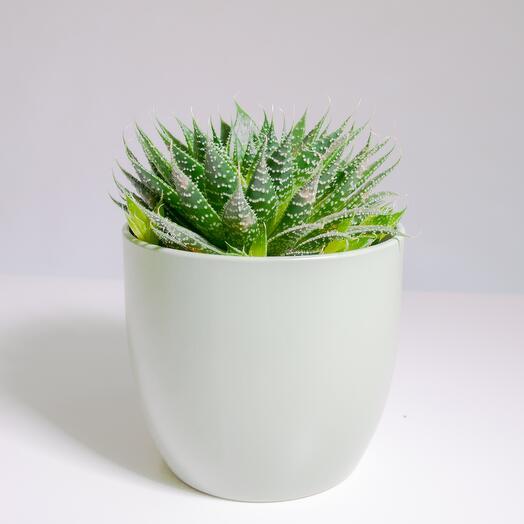 """Растение """"Алоэ Остистое"""" пересаженное в Фисташковый горшок"""