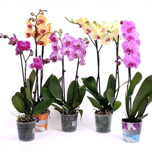 Фаленопсис микс 2 ствола: букеты цветов на заказ Flowwow