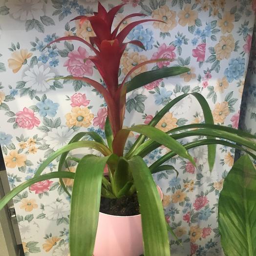 Гузмания бордовая: букеты цветов на заказ Flowwow