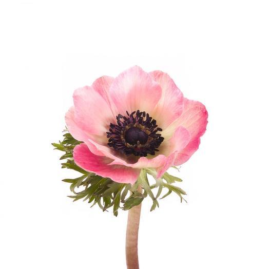 Нежно-розовый анемон