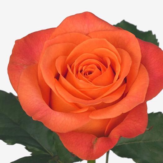 Роза Кларенс 80 см