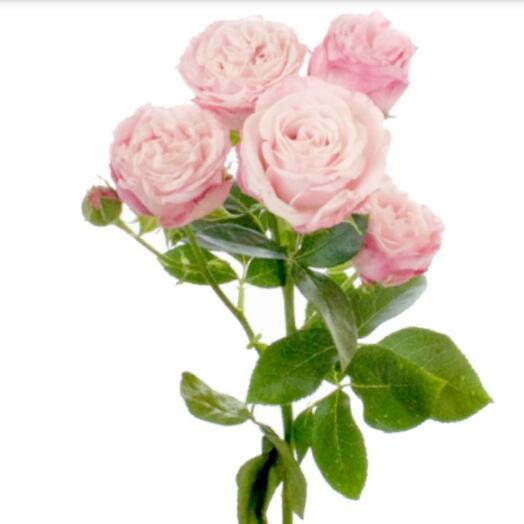 Роза пионовидная кустовая ветка 50 см