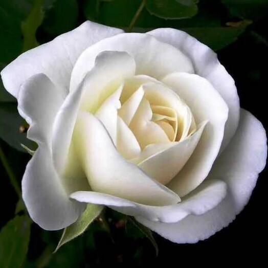 Белая роза вайт наоми 60 см