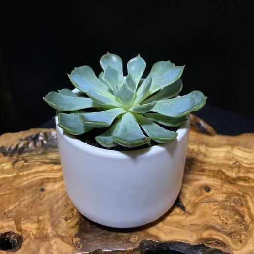 Эхавория в керамической чашке Fellow
