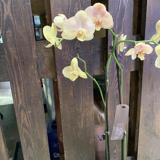 Орхидея сортовая: букеты цветов на заказ Flowwow