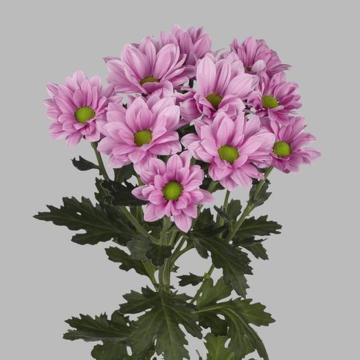 Хризантема кустовая Гринд Пинк