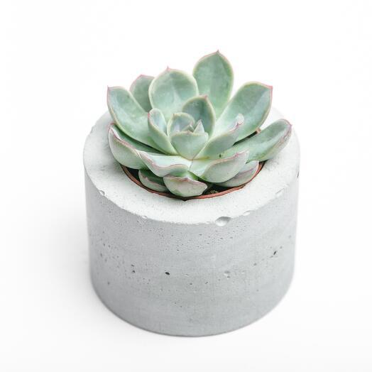 Маленький суккулент в бетонном кашпо