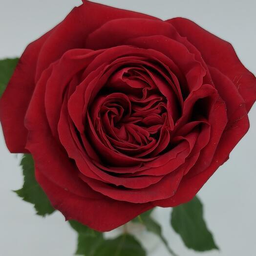 Роза Красная (колличество любое)