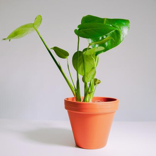 """Растение """"Монстера Деликатесная"""" пересаженное в Цвет Глины горшок"""