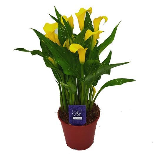 Калла d13: букеты цветов на заказ Flowwow