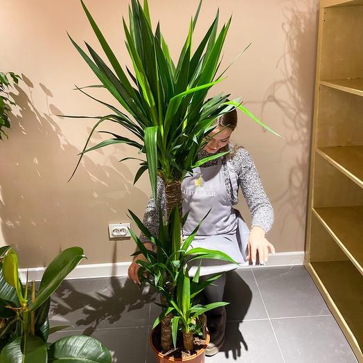 Комнатное растение юкка трехствольная