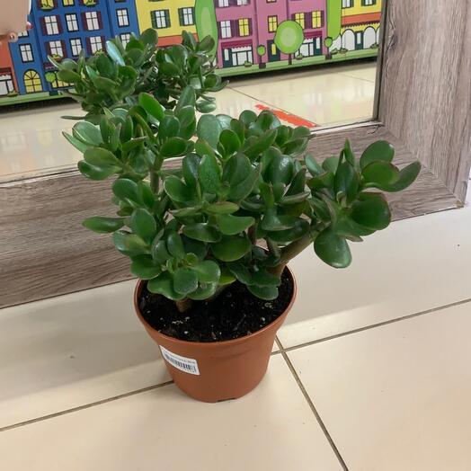 Комнатное растение Крассула