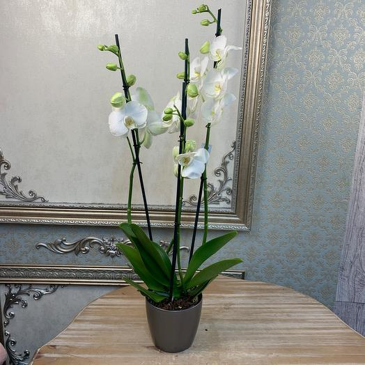 Орхидея Фалинопсис