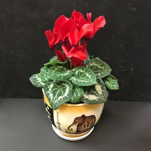 Комнатное растение «Цикламен красный»