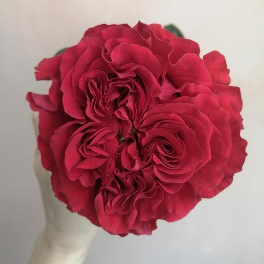 Роза Ред Ай (пионовидная)