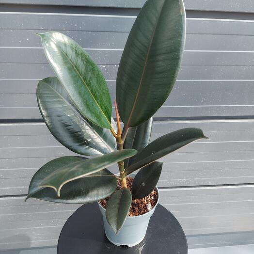 Комнатное растение Фикус Эластика