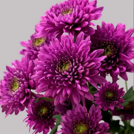 Хризантема романс пурпур
