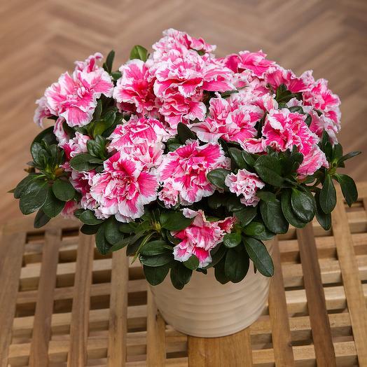 Азалия+ кашпо+грунт: букеты цветов на заказ Flowwow
