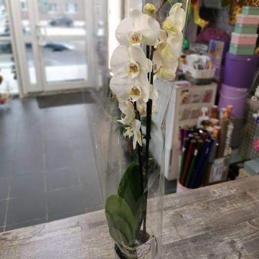 Орхидея  фаленопсис 1 ствол
