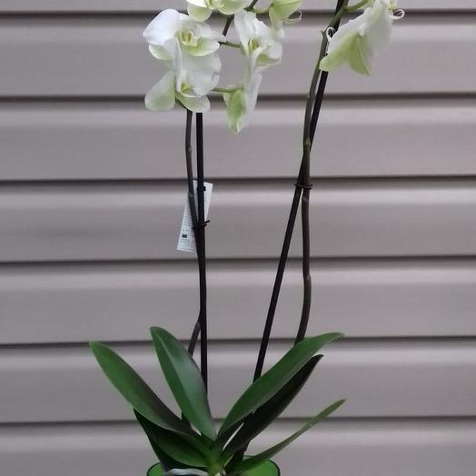 Горшечное растение Фаленопсис