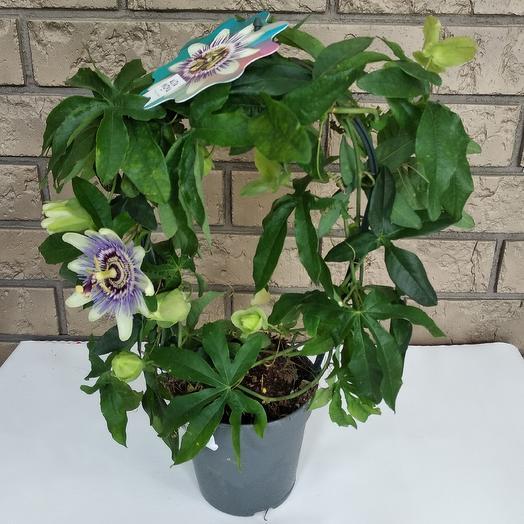 А.Пассифлора: букеты цветов на заказ Flowwow