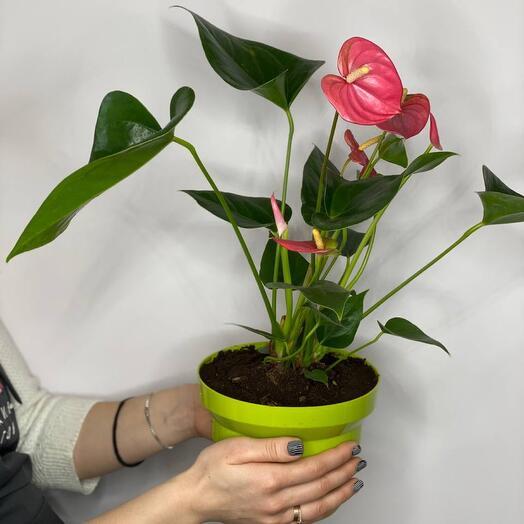 Антуриум розовый (пересаженный в горшок)