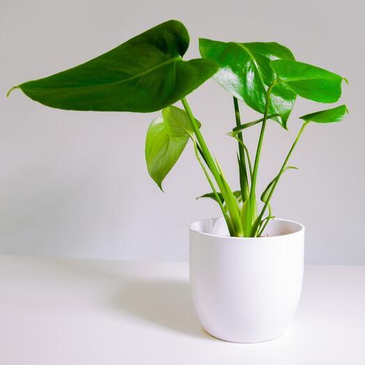 """Растение """"Монстера Деликатесная"""" пересаженное в Белый овал горшок"""