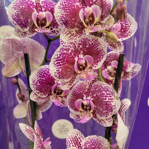 Орхидея Phalaenopsis