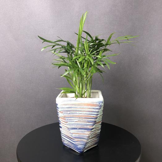 Хамедорея в кашпо: букеты цветов на заказ Flowwow