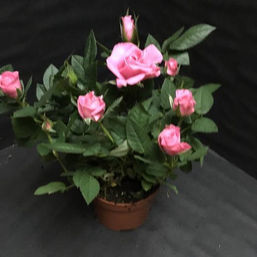 Роза Бью Монде