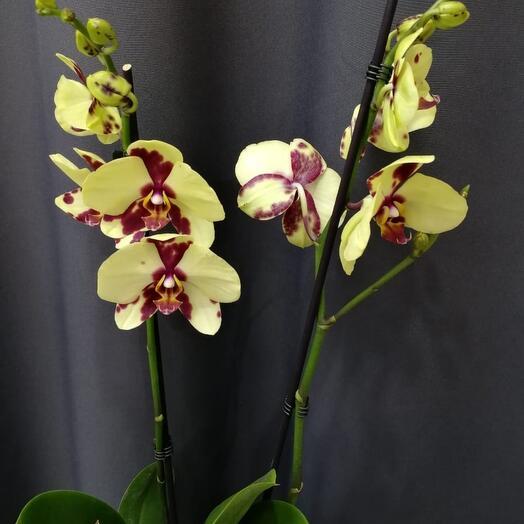 ✅ Орхидея 2th