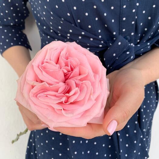 Пионовидная Роза Pink O  Hara