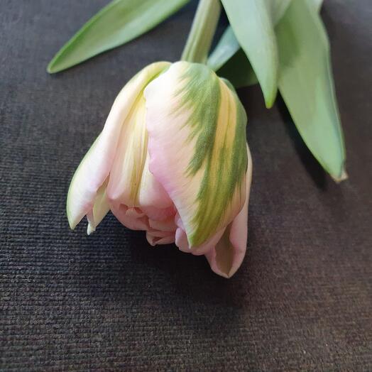 Тюльпан пионовидный бело-розовый