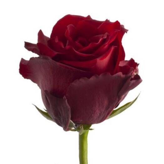Роза Эксплорер Эквадор 60 см
