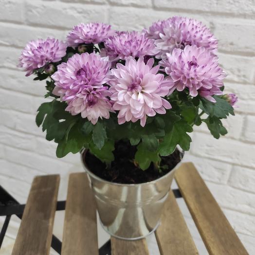 Хризантема в кашпо: букеты цветов на заказ Flowwow