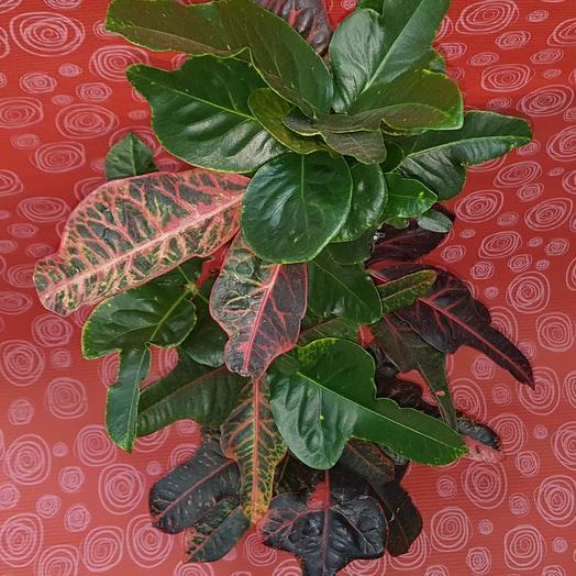 Кротон (кодиеум): букеты цветов на заказ Flowwow
