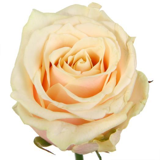 Кремовые подмосковные розы Таллея 60 см