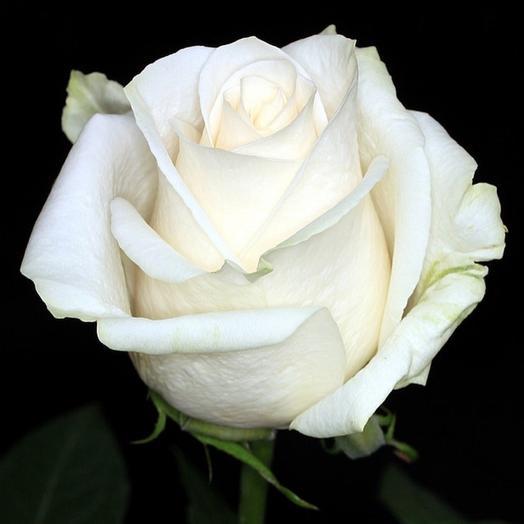 Роза Эквадор Венделла