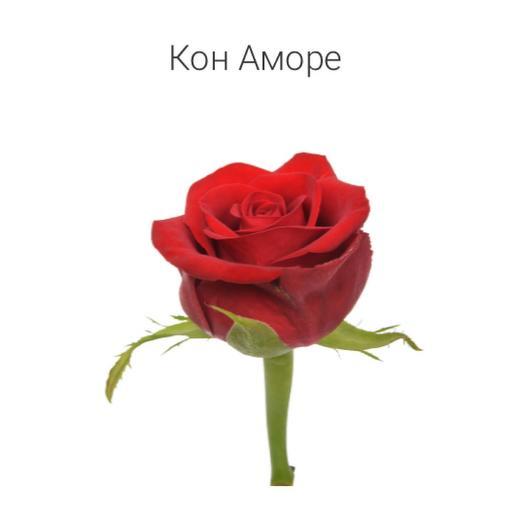 Роза «Кон аморе» 50 см