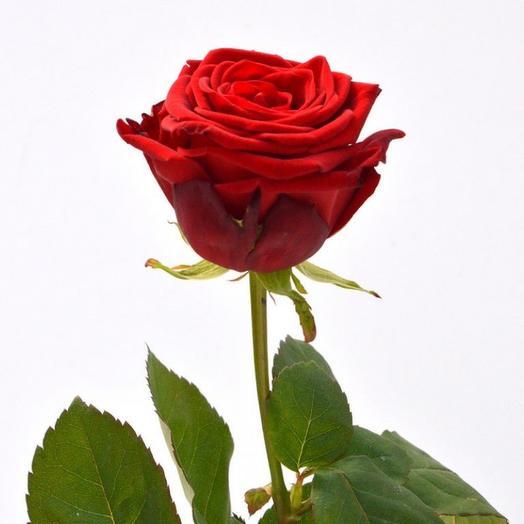 Роза подмосковная Бордовая , 50 см