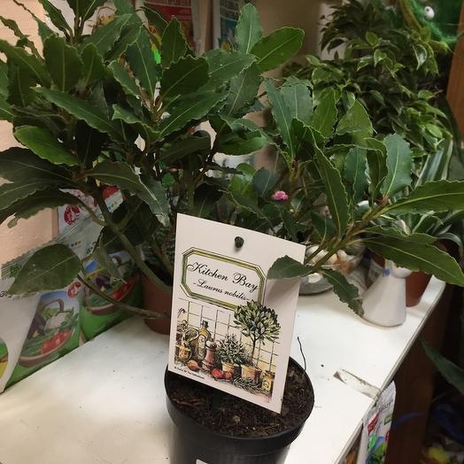 Комнатное растение Лавр Нобилис
