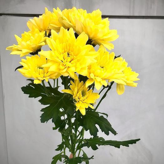 Кустовая хризантема желтая