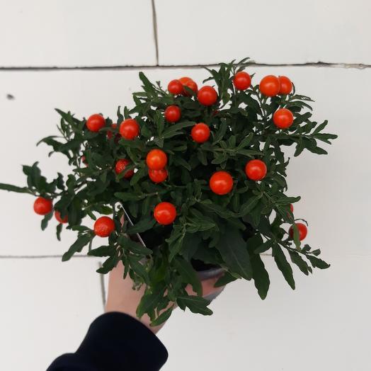 Комнатное растение Паслён