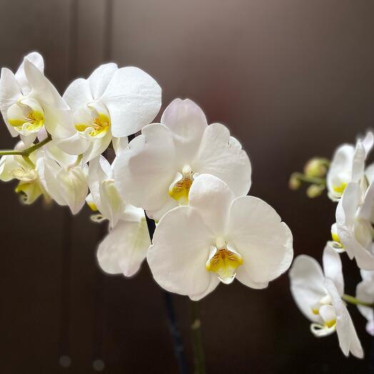 Орхидея фаленопсис. Отцвела