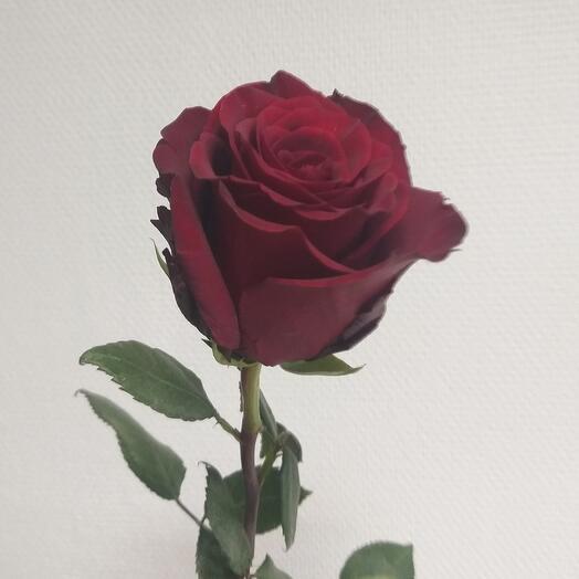 Роза эквадор эксплоер 70 см