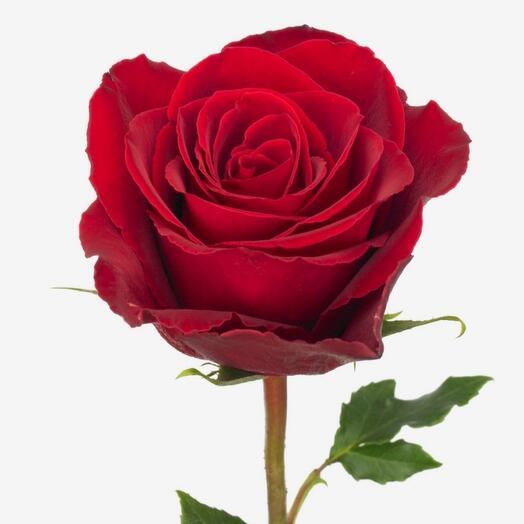 Красная роза премиум 40 см