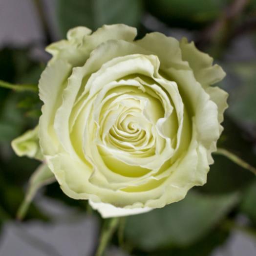 Роза Lemonad