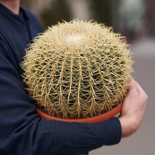 Грузони кактус