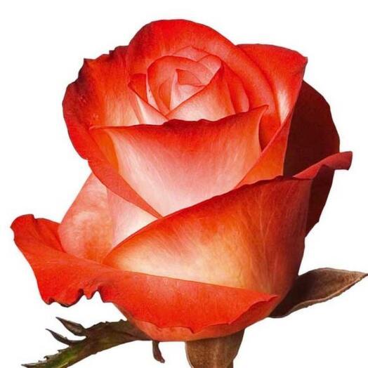 Роза Эквадор 50-60см