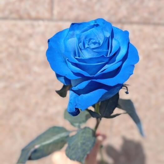 Роза эквадор Блю
